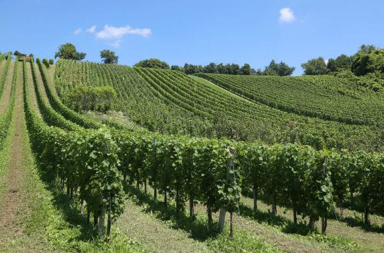 vinogradi Šember Jastrebarsko